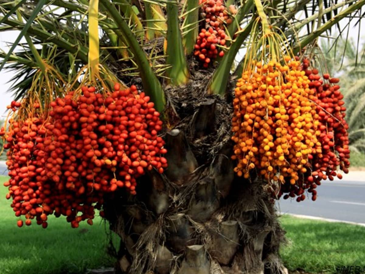 Dates are nutrient-rich-lifeofhealthy.com